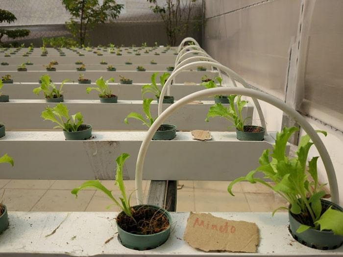 Chăm sóc rau trồng thủy canh trên sân thượng