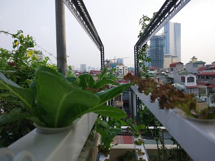 Trồng rau thủy canh trên sân thượng khá đơn giản