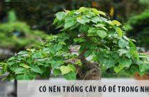 Có nên trồng cây Bồ Đề trong nhà?