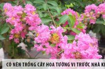 Có nên trồng cây hoa tường vi trước nhà không?