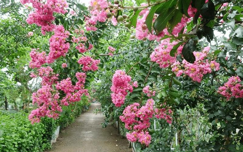 Hoa tường vi là loại cây thích hợp trồng trước nhà
